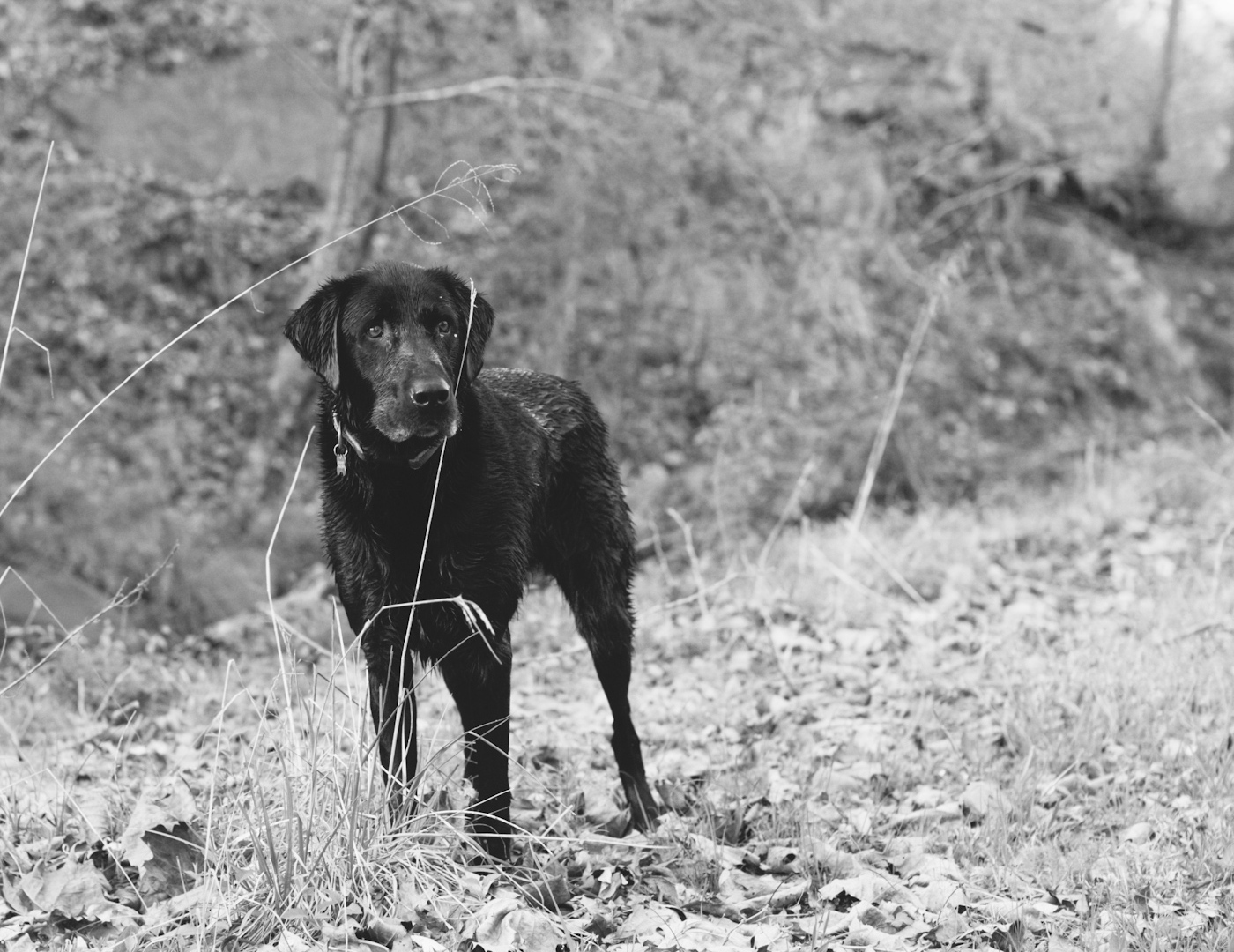 Orvis the lab